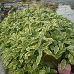 Jezírkové rostliny